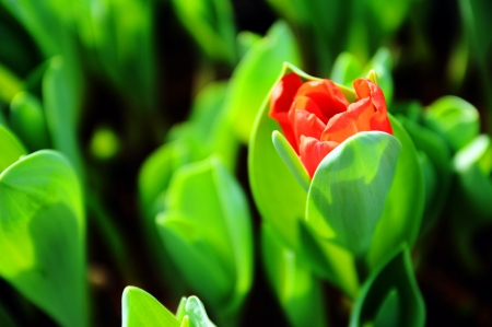 efflorescence of red tulip Stock Photo