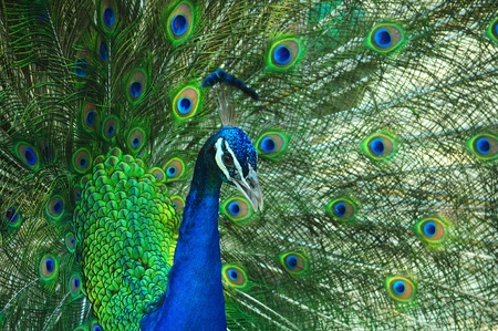 peacock as Spread tail-feathers