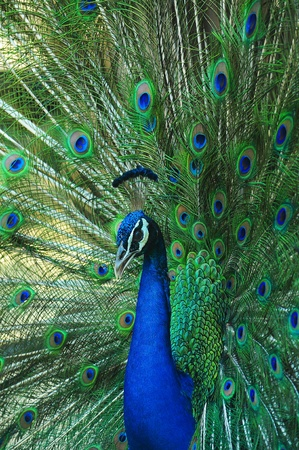 peacock as Spread tail-feathers Stock Photo - 17200931