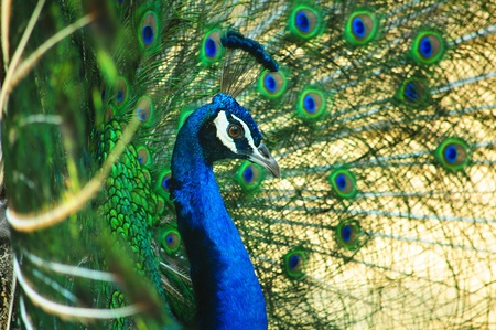 side of peacock as Spread tail-feathers Stock Photo - 17200930