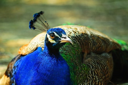 peacock  flop Stock Photo - 17200903