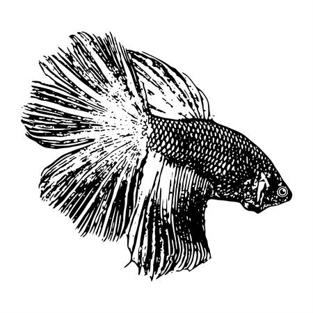 betta: Fighting fish, Betta splendens sketch vector