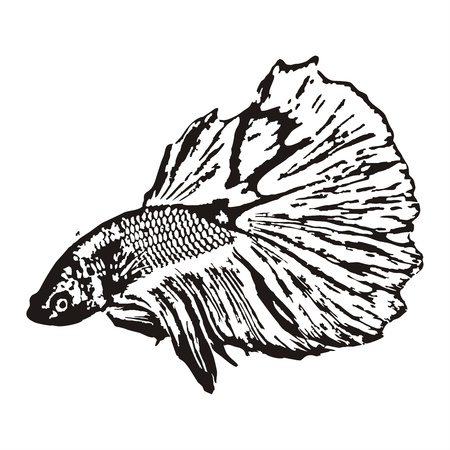 Fighting fish, Betta splendens sketch