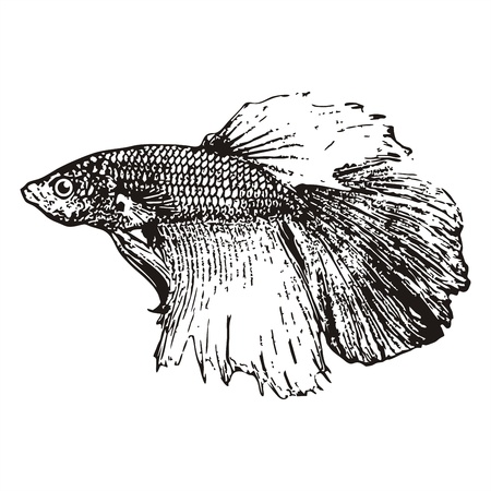 waft: Fighting fish, Betta splendens sketch vector