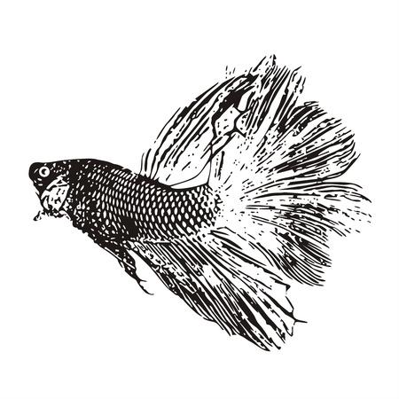 Fighting fish, Betta splendens sketch vector  Stock Vector - 20364601