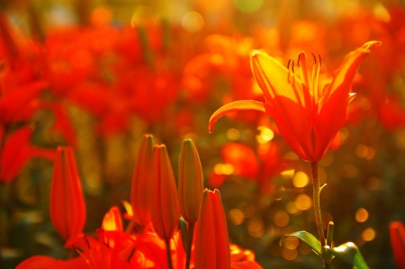 Field of orange Lily Stock Photo - 21748388