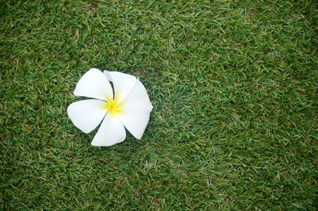 relent: bianco plumeria fiore sul prato