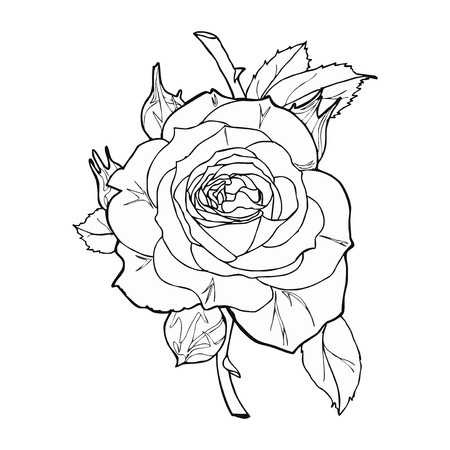 etching: rose sketch vector