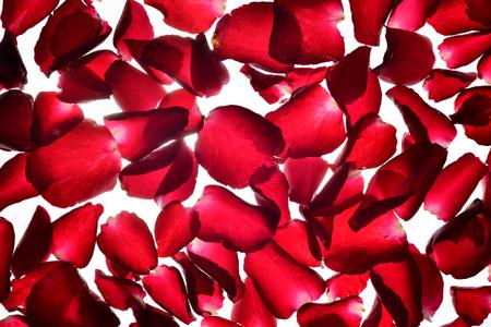 Translucent red Rose petals background Stock Photo