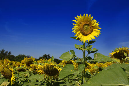 Outstanding sunflower with day light and blue sky background Stock Photo