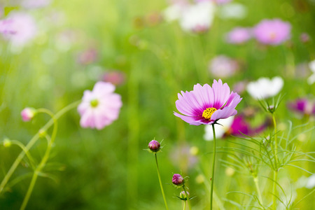 white and pink cosmos flower field background