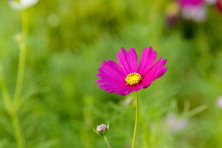 sanguine: close up pink cosmos flower field background