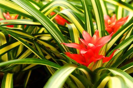 guzmania: flowers red guzmania lingulata background