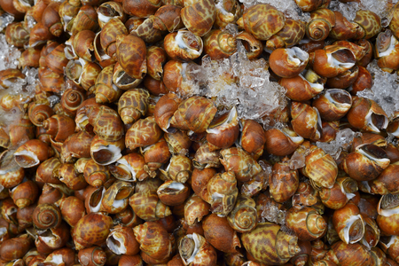 vend: a lot of raw Spotted babylon shellfish for selling in Thailand Sea food market texture background
