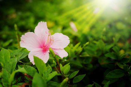 genus: Pink genus Hibiscus,the shoeflower or china rose in garden affter raining background