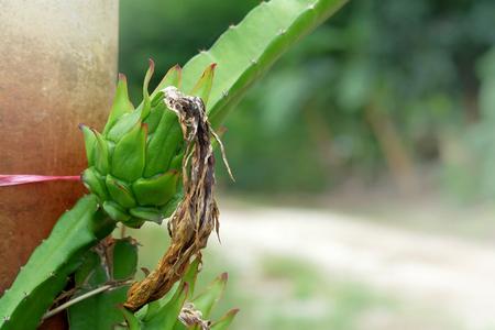 Agriculture green fresh Dragon fruit, Pitaya in farm for harvest