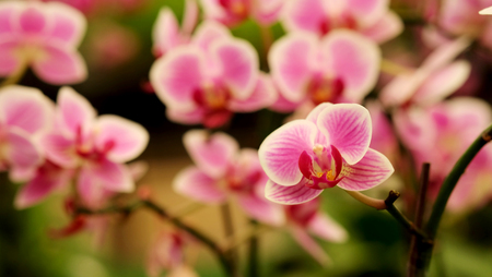 Close up Blooming beautiful Mini pink Phalaenopsis orchid in colorful flower garden with soft focus background