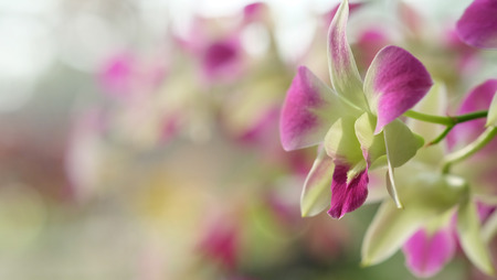 Beautiful purple Dendrobium orchid flower with soft focus in farm garden background,have some space for write wording
