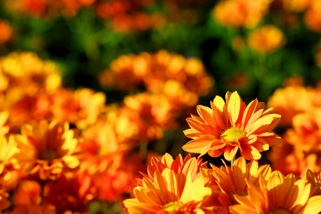 Vivid Orange Chrysanthemum in flower garden agriculture background Stock Photo