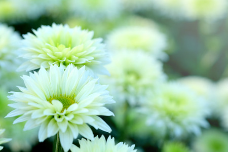 White Chrysanthemum in flower garden agriculture background with soft focus. And have some space for write wording