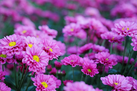 mauve: Purple Chrysanthemum in flower garden agriculture background with soft focus. And have some space for write wording