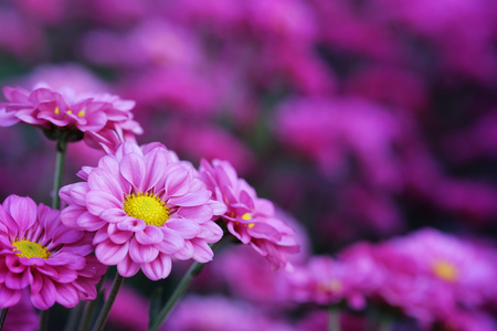 Purple Chrysanthemum in flower garden agriculture background with soft focus. And have some space for write wording