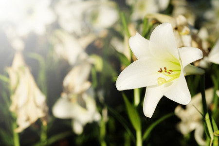 love at first sight: White lily in garden background.  Representation to Pure love or love at first sight