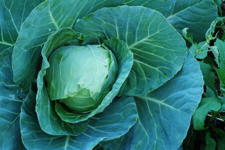 nontoxic: Agriculture fresh cabbage in Nontoxic farm. From rural of Thailand. And have some space for write wording Stock Photo