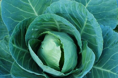 Agriculture fresh cabbage in Nontoxic farm. From rural of Thailand. And have some space for write wording Stock Photo