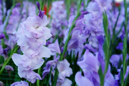 フィールドで紫のグラジオラスの花。華麗な美しさと約束する表現。書き込みの言葉遣いのためのスペースがあります。 写真素材
