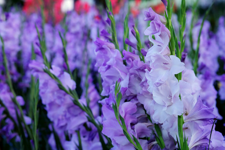 Purple Gladiolus flower in field. Representation to Splendid Beauty and promise. And have some space for write wording.