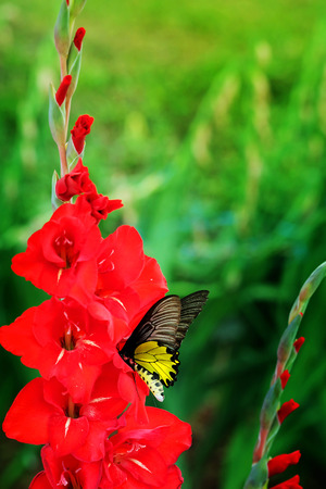 Red  Gladiolus flower and yellow butterfly  in field. Representation to Splendid Beauty and promise. And have some space for write wording. Stock Photo