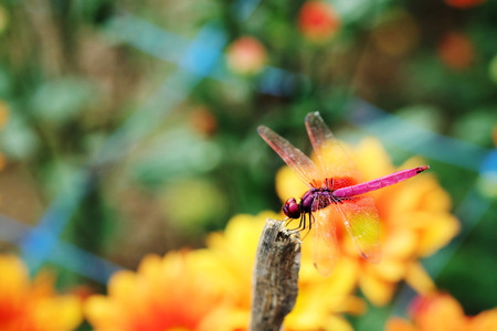 Trithemis aurora or crimson marsh glider dragonfly purple perched at branch with orange flower background