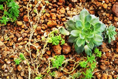 Nature background of succulent Echeveria rosettes or Crassulaceae with gravel background