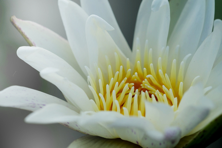 close up pollen white water lily or white lotus.feeling make meditation.background Stock Photo