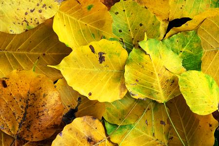 Autumn wilt yellow  Bo leaf  heap on the floor texture background Stock Photo