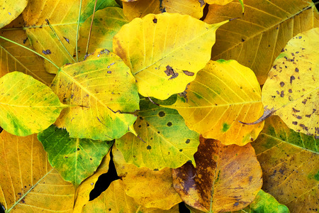 useless: Autumn wilt yellow  Bo leaf  heap on the floor texture background Stock Photo