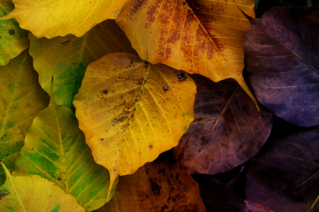 Colorful wilt Bo leaves texture background in Autumn Stock Photo