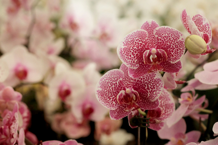 Pink texture Farland orchid in colorful flower garden with soft focus background. Have some space for write wording Stock Photo - 81613627