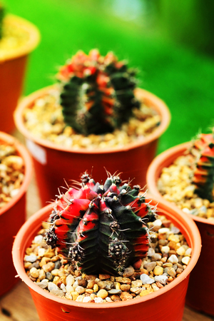 avocation: Gymnocalycium mihanovichii. Hobby gardening with many of sprout cactus in Nursery garden for sale make money