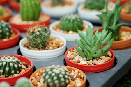 avocation: sprout cactus in Nursery garden Stock Photo