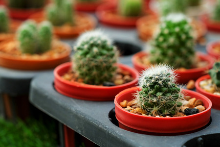 sprout cactus in Nursery garden Stock Photo