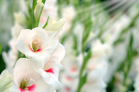 White Gladiolus flower in field. Representation to Splendid Beauty and promise. And have some space for write wording Stock Photo