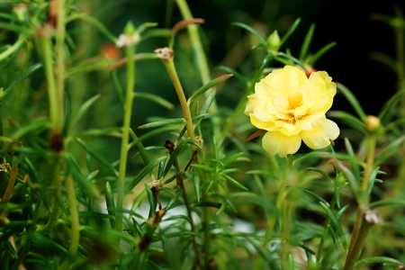 Close up and soft focus of yellow Rosemoss flower in green garden background.have some space for write wording