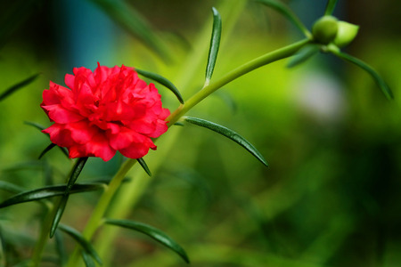 Close up and soft focus of red Rosemoss flower in green garden background.have some space for write wording