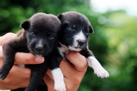 carry poor black breed puppy of Thailand with human big hand .have some space for write wording Stock Photo