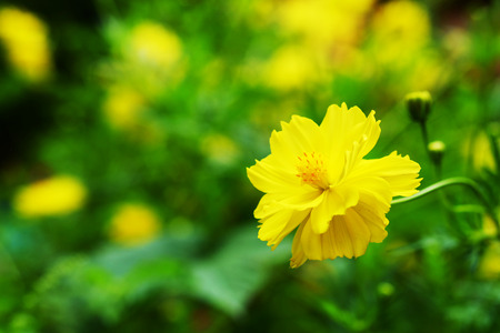yellow cosmos flower with green garden background Stock Photo