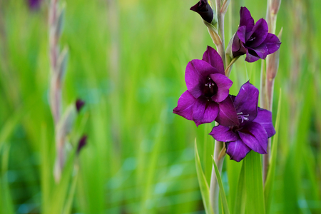 Deep violet Gladiolus flower in field and garden farm . Representation to Splendid Beauty and promise. And have some space for write wording.