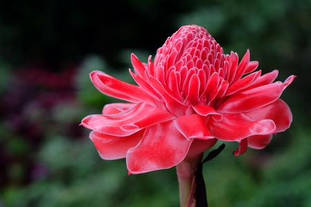 tropical flower red torch ginger or etlingera elatior or zingiberaceae in Thailand garden