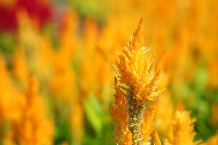 Plumed Celusia, Wool Flower or Celosia plumose (Sel-LOH-shee-uh ploom-MOH-suh) in garden with daylight background Stock Photo